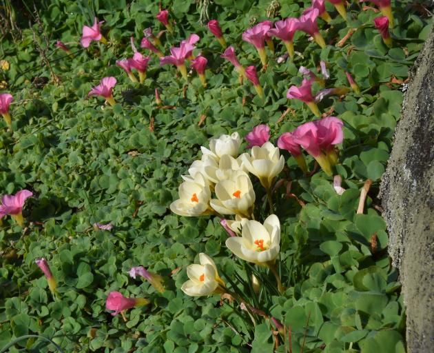 Oxalis purpurea leaves are punctuated by pink flowers and the complementary Crocus chrysathus....