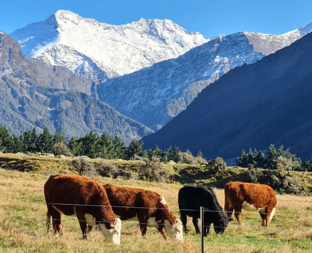 Beef cattle graze at Rob Roy Downs next to Big Creek on Mt Aspiring Station, near Wanaka. PHOTO: CHRIS ARBUCKLE