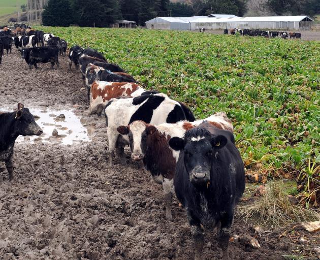 Cows in a wet paddock near Balclutha in 2014. PHOTO: CRAIG BAXTER