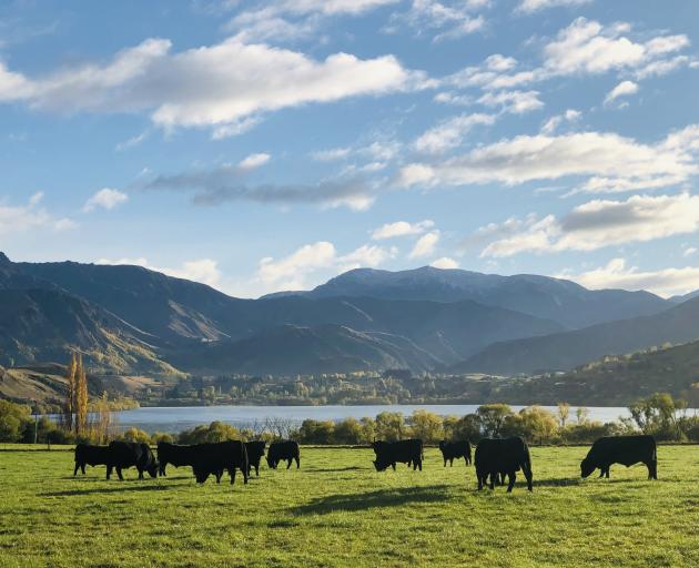 Kincardine Angus Stud bulls graze above Lake Hayes. PHOTO: GUY WILLIAMS