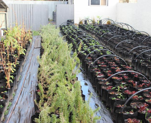 Rows and rows of plants in polythene bags are grown outside alongside the growing taking place inside the Invercargill property. Photo: Supplied