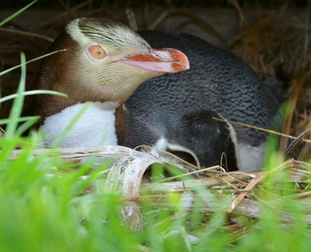 Yellow-eyed penguins face a tough breeding season as El Nino affects food sources. Photo: ODT