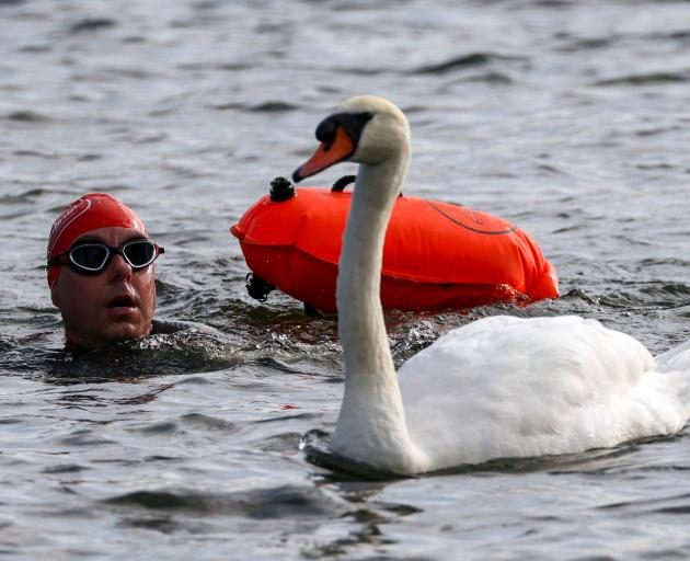 A participant swims next to a swan during the Children with Cancer UK Swim Serpentine in the...