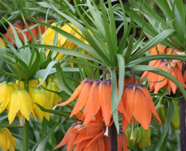 The largest of the fritillarias, crown imperials (F. imperialis) make a bold splash in spring....