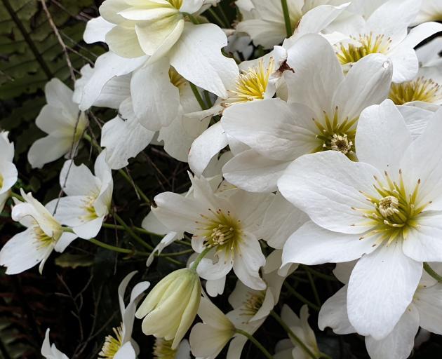 Native clematis, Clematis paniculata.
