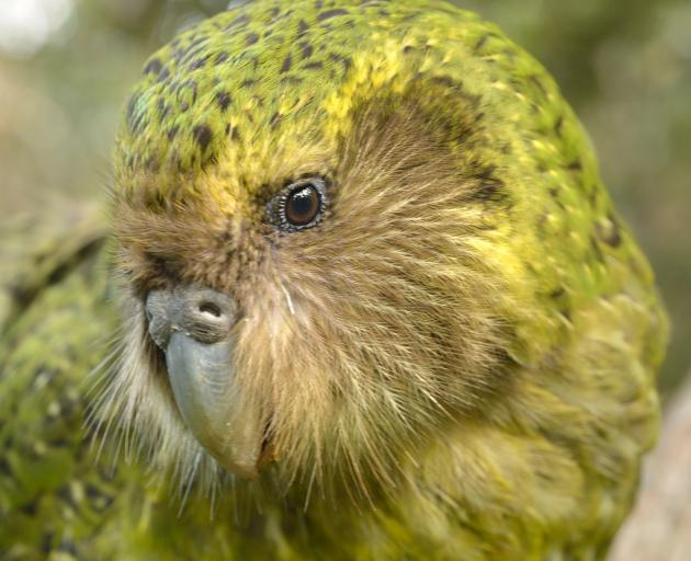 The chances of the critically endangered kakapo's survival could improve through genome...