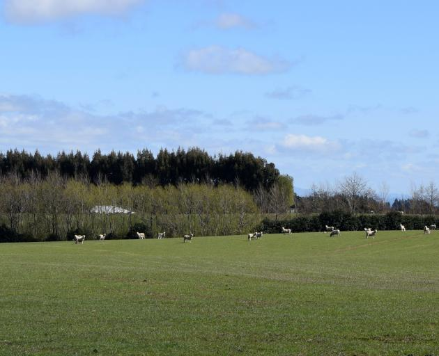 Sheep graze in a paddock in a farm across the road from the forestry block.