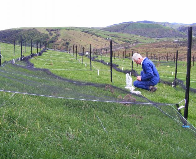 AgResearch Invermay scientist Colin Ferguson assesses a novel biopesticide against porina at a...