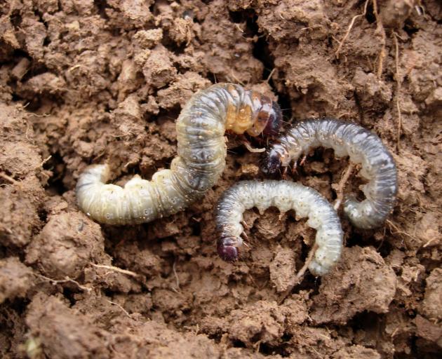 Porina caterpillars.