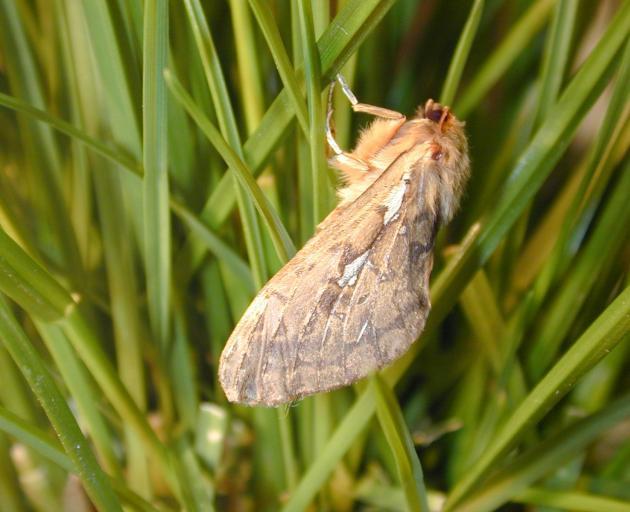 A porina moth.
