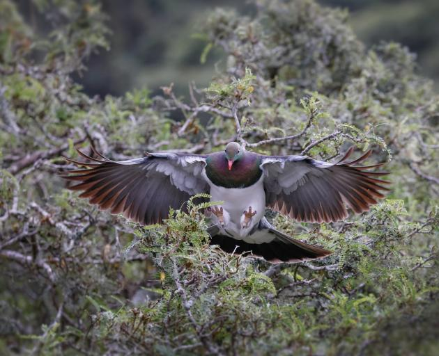 A kereru's wings fan out as it comes in to land. New Zealanders are urged to take part in the...