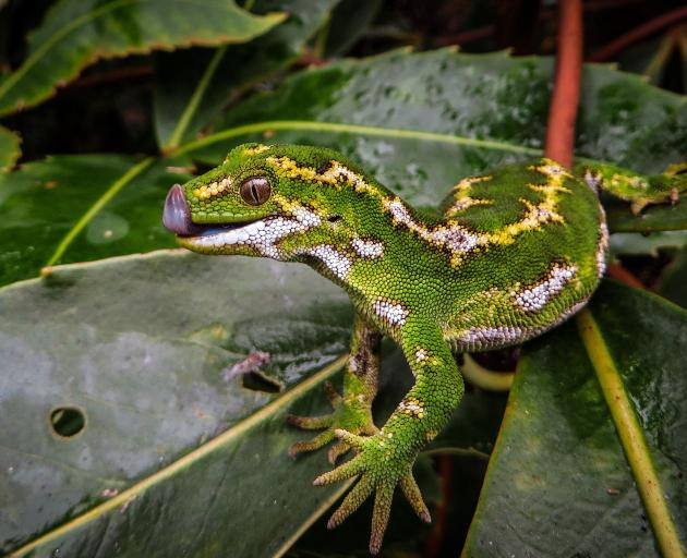 The jewelled gecko is a featured species at Orokonui Ecosanctuary, living in a new enclosure...