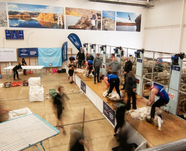 Shearers compete in the senior machine shearing semifinal at the 60th New Zealand Merino Shears...