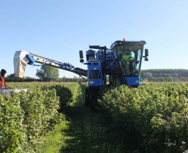 Harvesting blackcurrants at Tony and Afsaneh Howey's Pleasant Point organic farm.