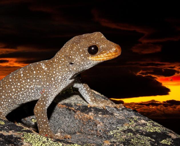 Hura te ao gecko. ''Hura te ao'' means ''the breaking of the dawn'', a name gifted by a local...