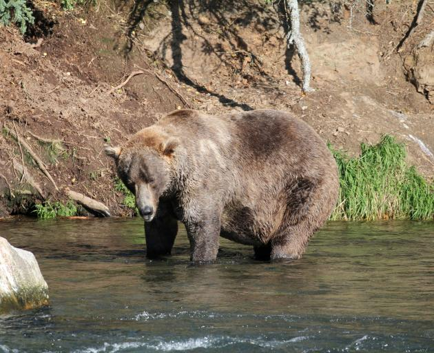Otis hunting for salmon to fatten up before hibernation at Katmai National Park and Preserve in...