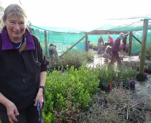 Te Kakano nursery volunteer Jane Forsyth delighted to find the nursery expanded after a year away.