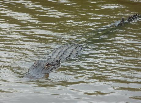 An alligator slides through the murky waters of the Honey Island Swamp. Photos: Pam Jones.