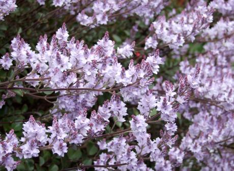 New Zealand lilacs (Heliohebe hulkeana) grows readily from cuttings.
