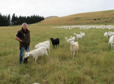 David (pictured) and Robyn Shaw, of Clinton, have spent 35 years breeding goats for super-soft,...