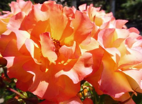 """""""Wildcat"""" is a very tall and eye-catching rose. Photo: Supplied"""