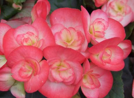 Bedding plants such as these begonias, can make good houseplants over winter. Photos: Gillian Vine