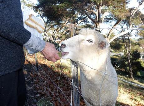 Busby eats a feijoa and a slice of bread for breakfast. Photo: RNZ