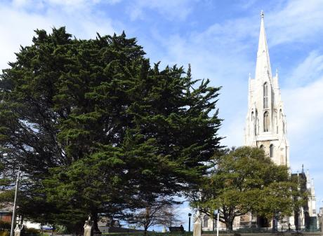 One of the handsome Monterey cypresses in the grounds of Dunedin's First Church. Photos: Gregor...