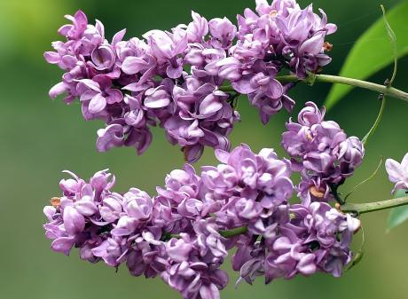 Lilac Syringa Vulgaris 'Charles Joly', in Dunedin Botanic Garden's Fragrant Plant Theme border....
