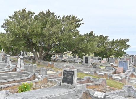 One of the many Chatham Island akeake trees scattered throughout the Andersons Bay Cemetery. Some...