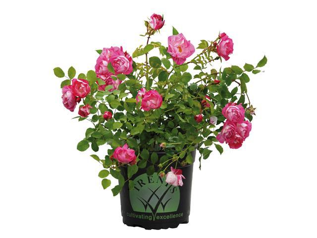 Tesselaar Flower Carpet Rose Pink Splash 2.5 Litre $18.88
