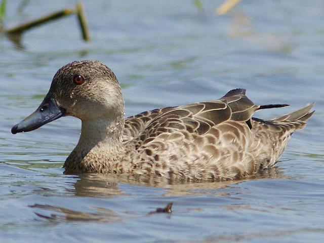 The grey teal is a protected species. Photo: Wikipedia