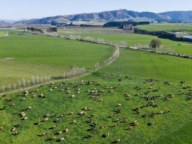Dairy herd on Greg and Quintin Paul's Waimate farm