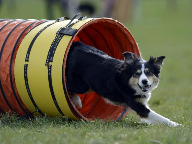 Border Collie Tease competing in the selection trial for the New Zealand Dog Agility...