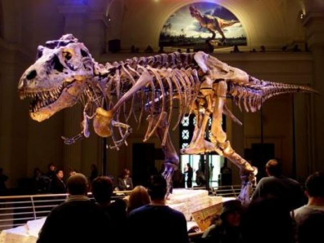 'Sue', a 13m-long Tyrannosaurus rex, is shown on display at the Field Museum in Chicago, Illinois in this file photo. REUTERS/Sue Ogrocki