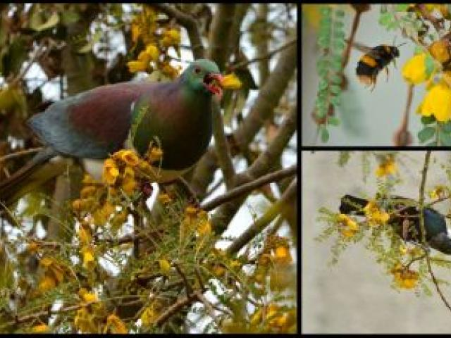 A kereru, a bumblebee and a tui find a blossoming kowhai an irresistible attraction at the Dunedin Botanic Garden yesterday. Photos by Gerard O'Brien.