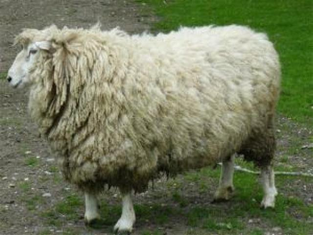 This Tamlet Stud coopworth ram is another ram that ranked well on Silace that has been sold to a buyer in Chile.