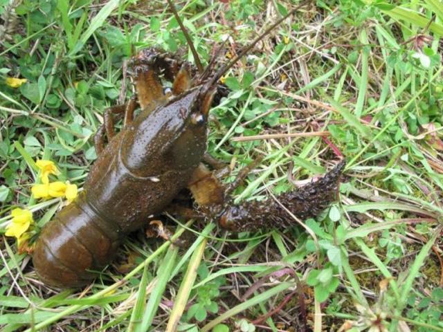 Freshwater crayfish. Photo: supplied