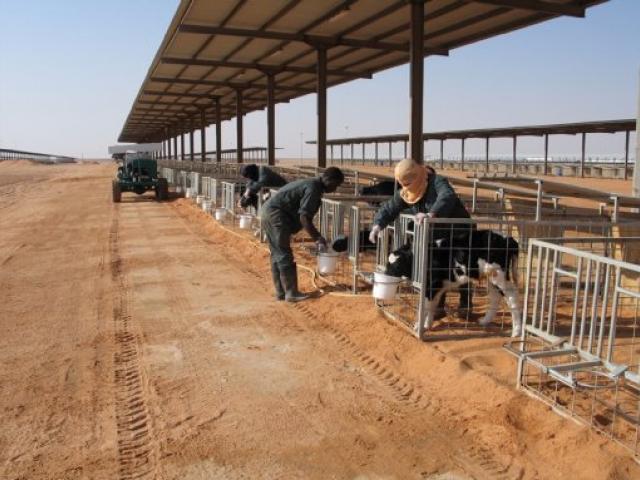 Almarai dairy farm in Saudi Arabia. PHOTO: CLAYTON BUCKLEY