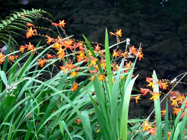 Montbretia (Crocosmia x crocosmiiflora) is a weed. Photos: Gillian Vine