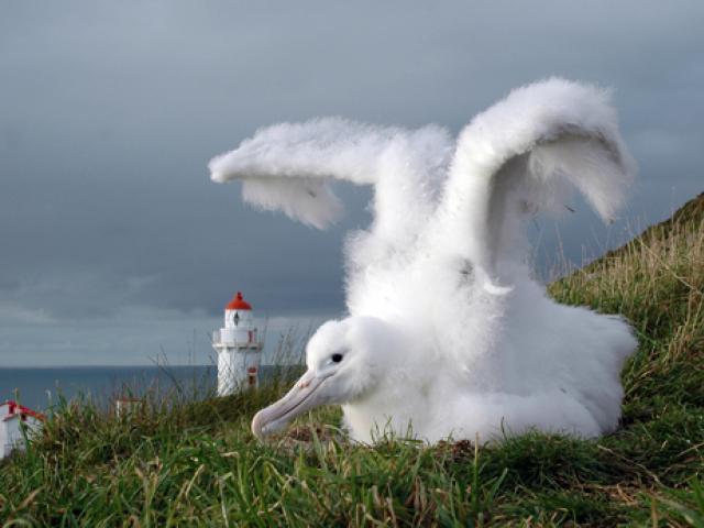 Royal Albatross chick and Taiaroa Head lighthouse. PHOTO: ROBERT BROWN