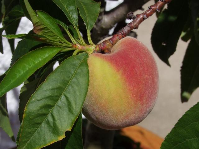 The kernels of peaches and apricots should not be eaten raw.
