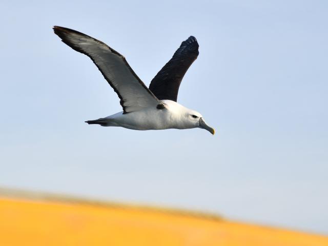 White-capped albatross near the island.