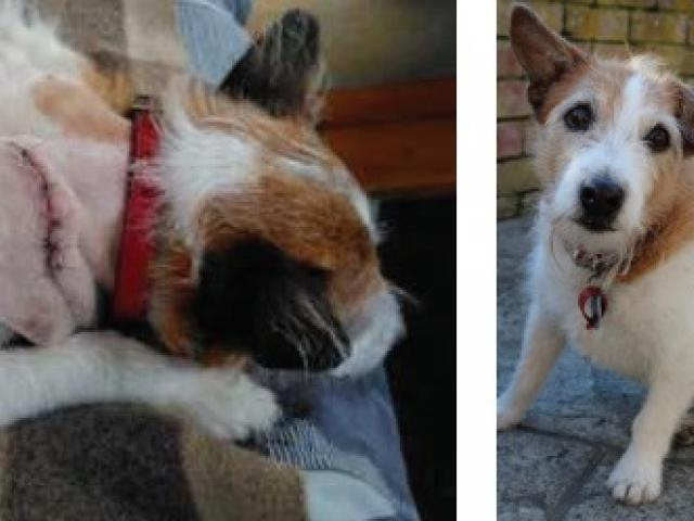 Skipper, an elderly Jack Russell, was stabbed in the right side of his neck and shoulder by a...