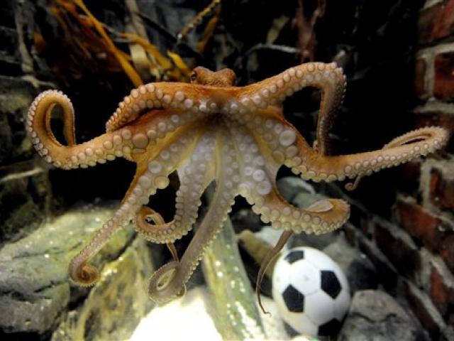 Paul the octocpus oracle