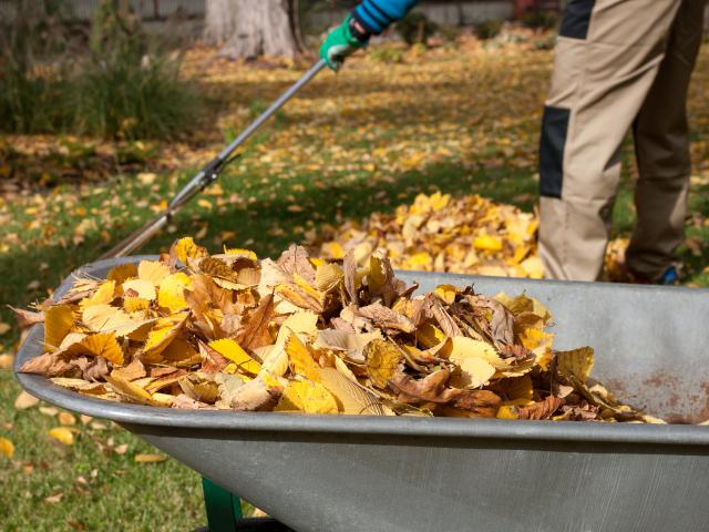 Rake up leaves around plants and other areas. Photo: Getty Images