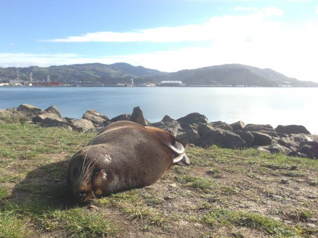 Sunbathing seal at the Otago Harbour's Mouth.