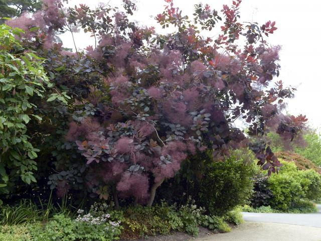Cotinus 'Grace' in all it's smoky glory next to Lindsay Creek. Photo: Gerard O'Brien.
