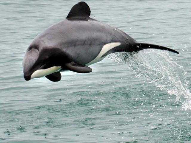 A Hector's dolphin seen off the Otago coast. Photo Stephen Jaquiery