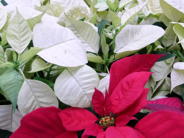 Poinsettia (Euphorbia pulcherrima) in red variety Freedom and white Arctic. Photo: Gillian Vine.